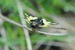 DSC_7536 Libellen-Schmetterlingshaft