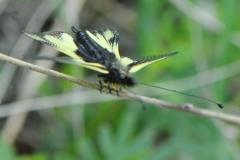 DSC_7539 Libellen-Schmetterlingshaft