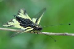 DSC_7542 Libellen-Schmetterlingshaft