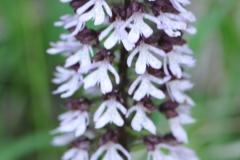 DSC_7663 Purpur-Knabenkraut