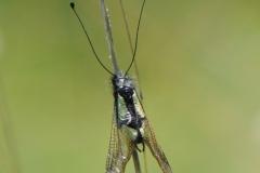 DSC_7796 Libellen Schmetterlingshaft